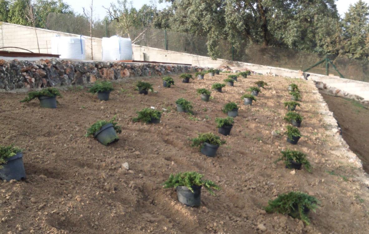 Creación de macizos de planta tapizante